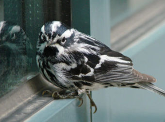 BWWA-windows-allaboutbirds
