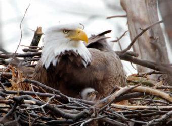 Bald eagle and young. Photo: Steve Sachs.