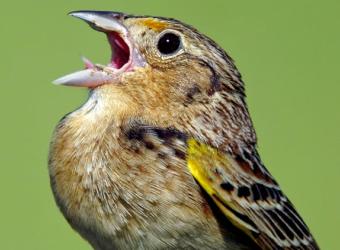 Grasshooper-Sparrow-@Kevin-Bolton-head