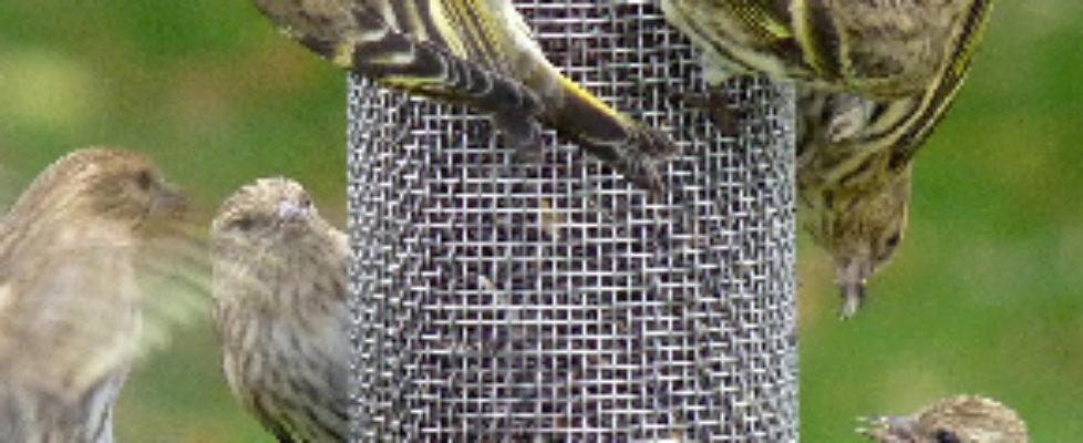Pine Siskins Photo: Brownstone Birding