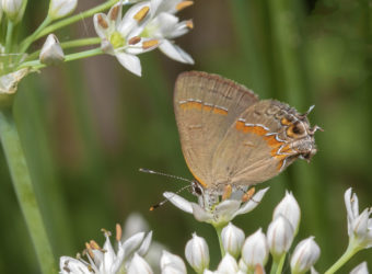 Red-banded Hairstreak at Pruyn Gardens 8-31-19 Peter Post