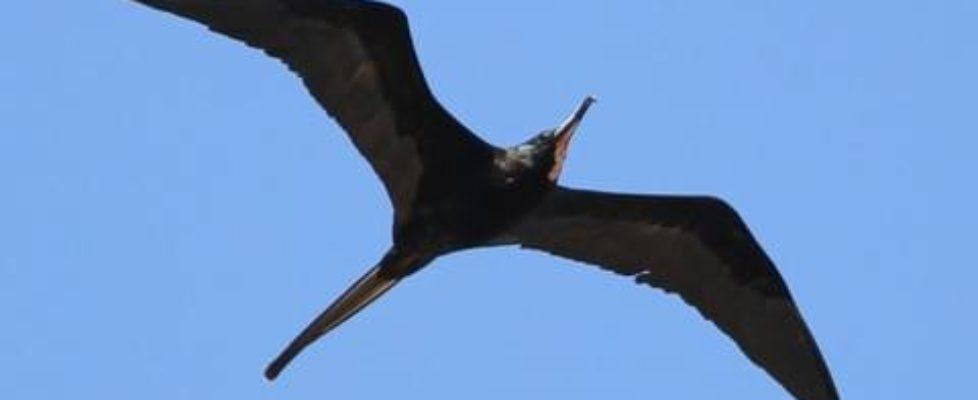 Frigatebird-allaboutbirds.org