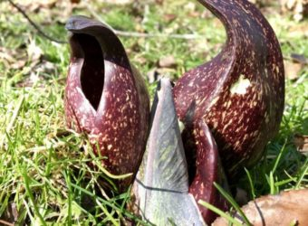 Skunk-Cabbage-seashoretoforestfloor-com