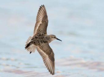 SESA-AllAboutBirds-Flight