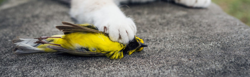 Hooded-Warbler-dead_forestpath_SS_Abcbirds_org