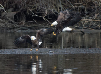 20180226-eagle-pair-with-fish-charles-point-_-2