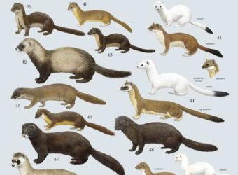 weasel-family