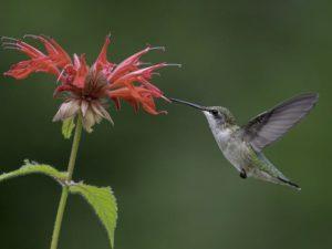 Female Ruby-throated Hummingbird on Scarlet Bee-Balm, Monarda didyma. From: https://www.allaboutbirds.org/guide/Ruby-throated_Hummingbird/id
