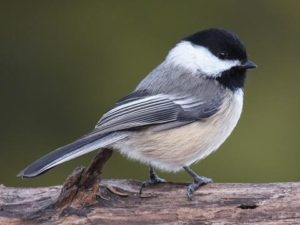 Black-capped Chickadee. Photo: www.allaboutbirds.org