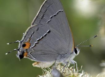 Strymon-melinus-photo-Gray-Hairstreak-NABA-
