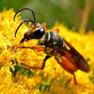 Golden Digger Wasp. US Fish & Wildlife Service.