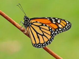 Monarch Butterfly. www.butterfly-conservation.org